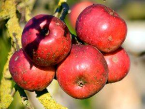 Nemoci jabloni